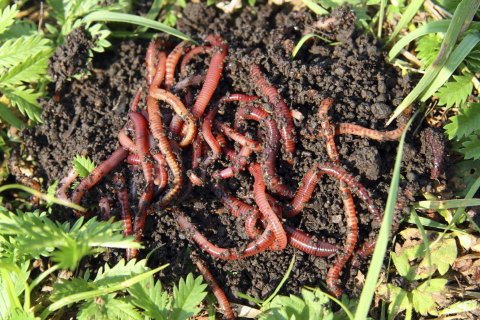 Worms in the garden